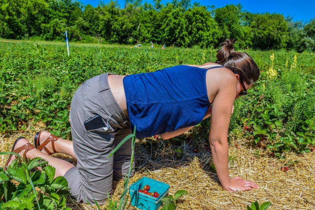 Strawberry picking in Upstate New York