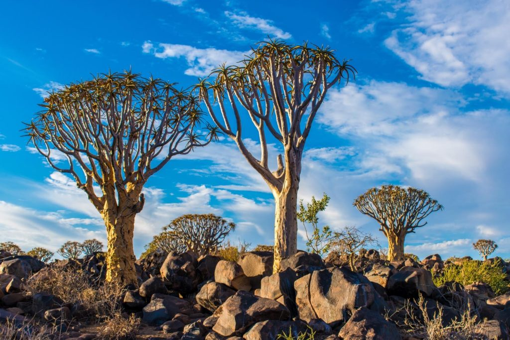 Quivertrees in Namibia