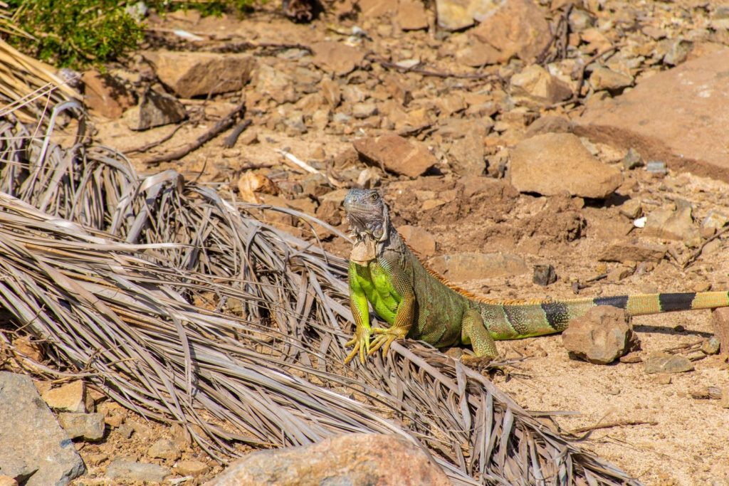 Iguana on Pinel Island - St Martin